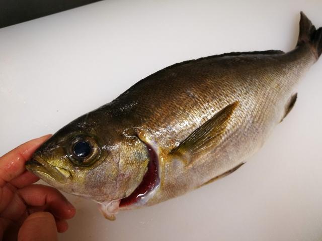 初心者でも数釣りできるイサキの船コマセ釣りのコツを解説!